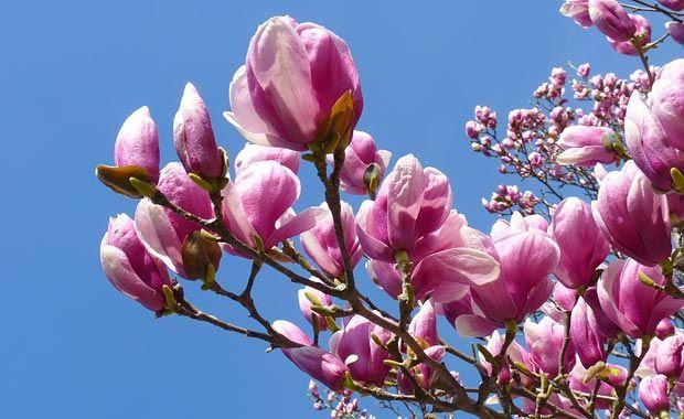 tulip-tree-620x380-p1020668